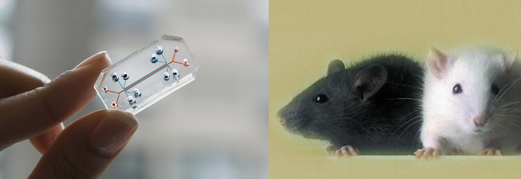 Photo of someone holding the lab on a chip device next to a photo of two laboratory mice