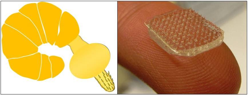 Drawing of a lemon-yellow segmented worm with a spiny head adjacent to a photo of a transparent spiny square resting on top of a fingertip