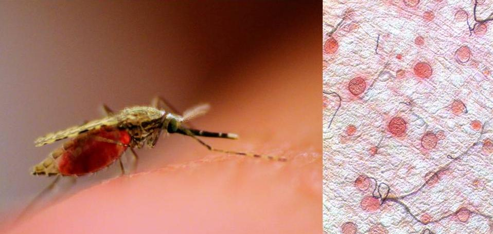 photo of a red-bellied mosquito adjacet to a photo of pink blobs