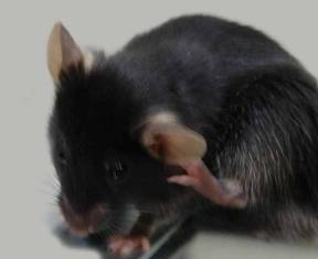 Mouse scratching it's ear