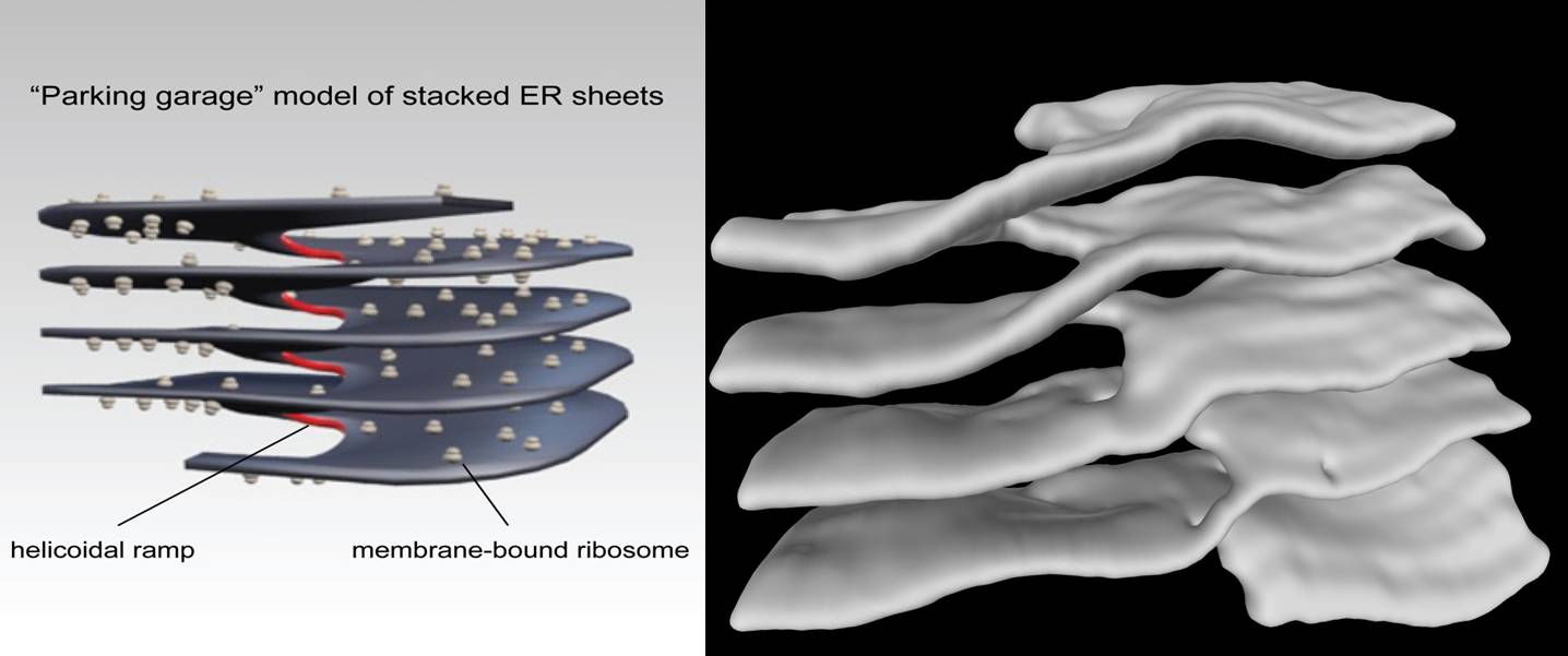 An artist's rendition and an EM photograph showing the helical nature of the structure.