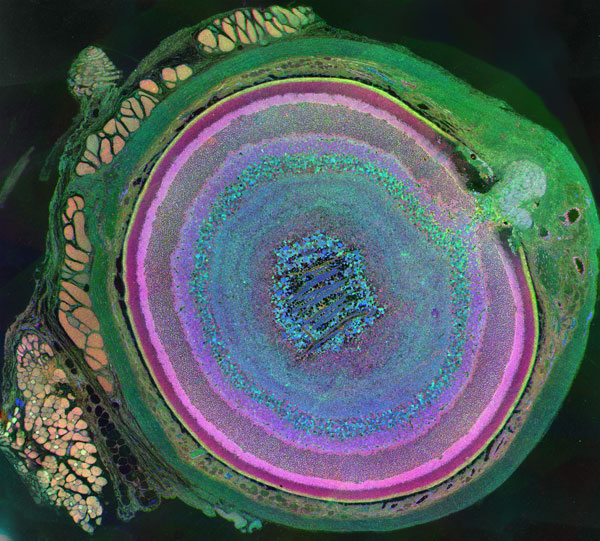 Colorized cross section of a mouse eye