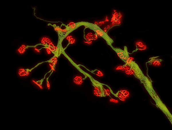 Junctions between motor neurons (green) and muscle fibers (red)
