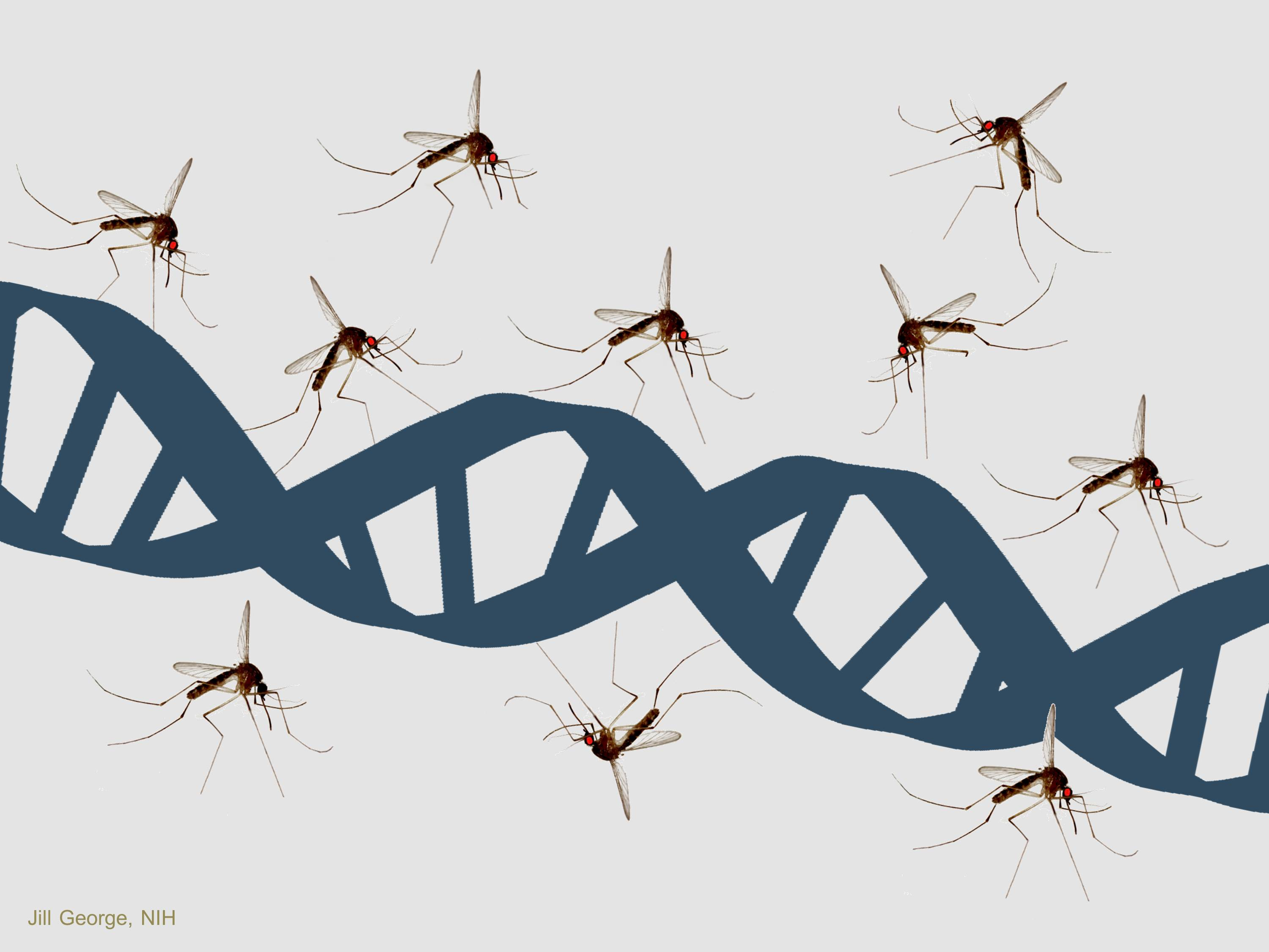 Mosquitoes and a Double Helix