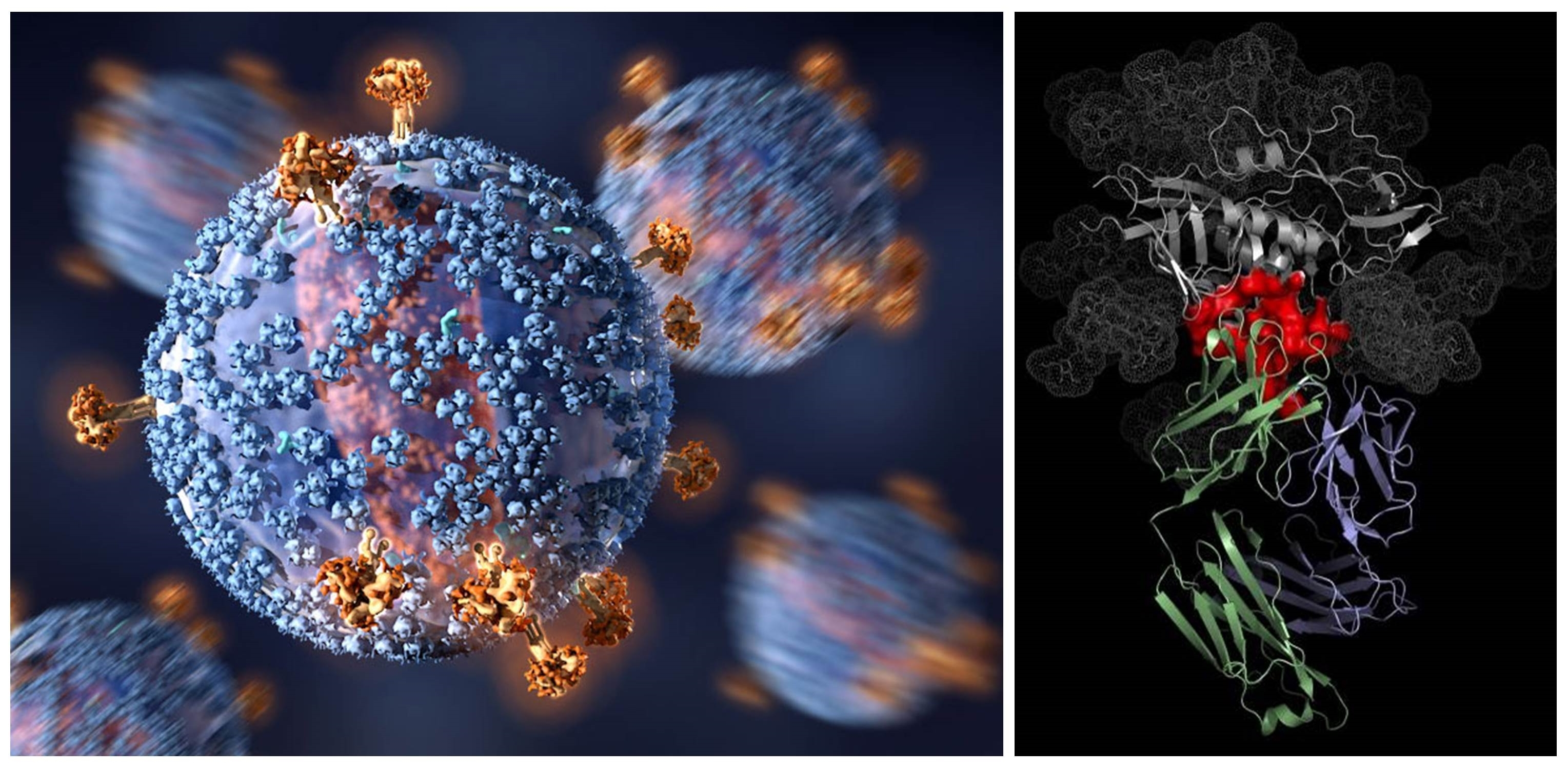 Virus and antibody bound to virus