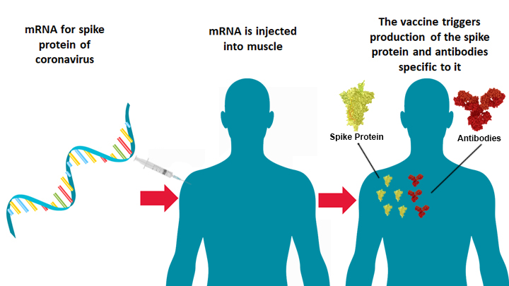 Diagram of how mRNA vaccine works