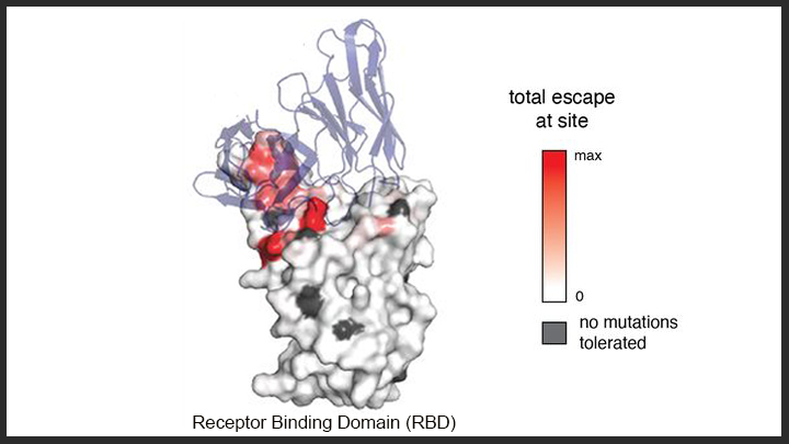 Antibodies Binding to RBD