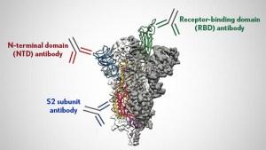 Viral spike with labels Receptor-binding domain (RBD) antibody, N-terminal domain (NTD) antibody, S2 subunit antibody