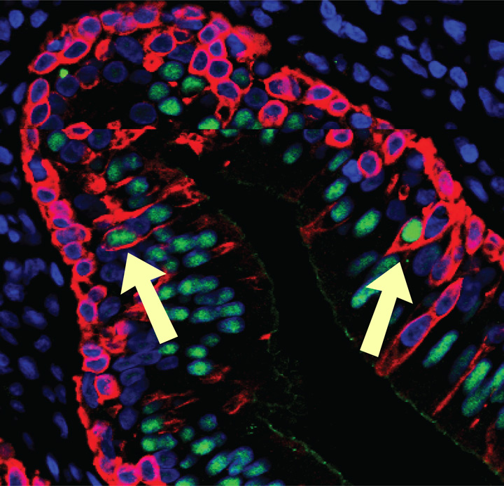 Photomicroscopy showing red basal cells below green ciliated cells, with transitional cells between showing green centers and red outlines